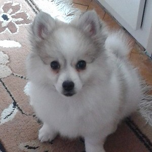 Delivery German Spitz