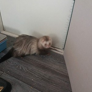 Delivery Adult Ferret