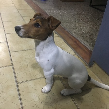 1 jack russell